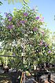 Tibouchina Granulosa (Purple Glory Tree) (28278476883).jpg