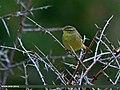 Tickell's Leaf Warbler (Phylloscopus affinis) (22015440934).jpg