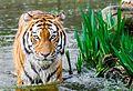 Tiger (14806825806).jpg