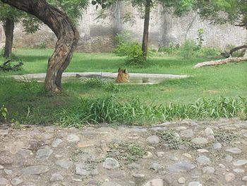 Tiger at Chhatbir Zoo.jpg