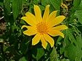 Tithonia diversifolia flower 2.jpg