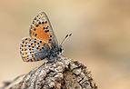 Tomares nesimachus - Akdeniz gelinciği 01.jpg