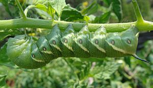 """Sphingidae - an example of the posterior """"horn"""" seen on the tomato hornworm"""