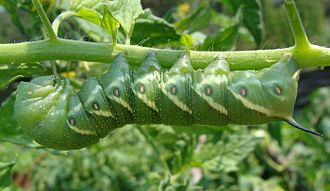 "Sphingidae - An example of the posterior ""horn"" seen on the tomato hornworm"