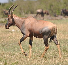 Topi in Northern Serengeti2.JPG