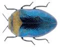 Trachys coruscus Ponza, 1805.png