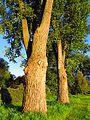 Tree - panoramio (18).jpg