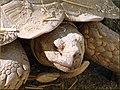 Tree Farm, Desert Tortoise12-8-12d (8298287316).jpg