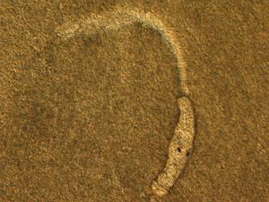 Trichobilharzia regenti - Schistosomulum of T. regenti.