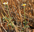 Tridax procumbens (Coat buttons) in Hyderabad W IMG 7412.jpg
