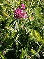 Trifolium alpestre 001.jpg