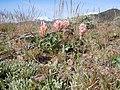 Trifolium macrocephalum (8097443433).jpg