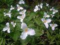 Trillium grandiflorum - Trille blanc - White trillium (5746872117).jpg