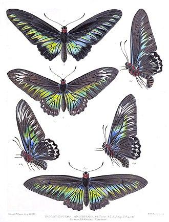 Trogonoptera brookiana - Image: Trogonoptera Brookeana Rippon