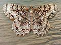 Tulip-tree beauty moth (Epimecis hortaria) in Durham, NC 3.jpg