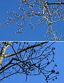 Tulip-tree vs Sweet-gum winter branches.jpg