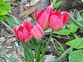 Tulipa pulchella cv. 11.jpg