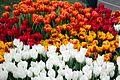 Tulips (4466601064).jpg