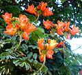 Tulpenbaum1.JPG
