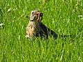 Turdus pilaris (27267528455).jpg