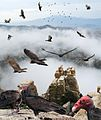 Turkey Vulture (west) From The Crossley ID Guide Raptors.jpg