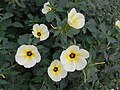 Turnera ulmifolia - 2.JPG