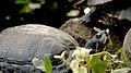Turtle, Botanic Garden Munich.jpg