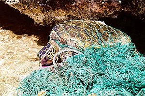 Ghost net - Sea turtle entangled in a ghost net.