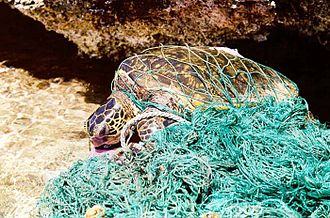 Marine debris - A turtle trapped in a ghost net, an abandoned fishing net