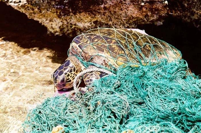 Turtle entangled in marine debris (ghost net)