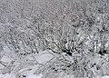 Twiggy snow (11138898594).jpg