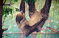 Two Toed Sloth (5925066410).jpg