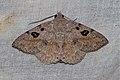 Ugia signifera (Erebidae) (6564982403).jpg