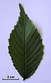 Ulmus uyematsui leaf with 2 cm scale bar.jpg