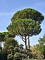 Umbrella Pines Vatican Gardens Rome Sep19 D72 11717.jpg