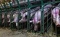 Undercover Investigation at Manitoba Pork Factory Farm (8250115715).jpg