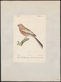 Uragus sibiricus - 1842-1848 - Print - Iconographia Zoologica - Special Collections University of Amsterdam - UBA01 IZ16000131.tif