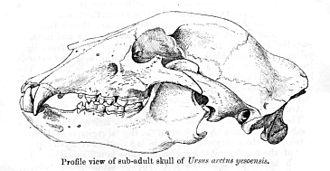 Ussuri brown bear - Skull