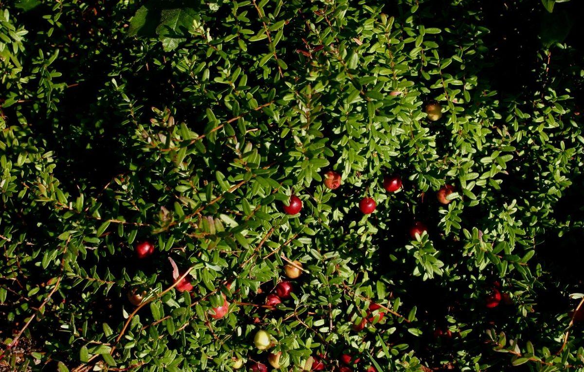 Célèbre Canneberge à gros fruits — Wikipédia TZ13