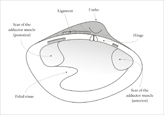 Pallial line - Diagram of the internal shell structure of the left valve of bivalve resembling a venerid in which the pallial line is shown