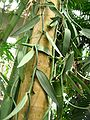 Vanilla planifolia1.jpg