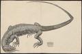Varanus terrestris - 1700-1880 - Print - Iconographia Zoologica - Special Collections University of Amsterdam - UBA01 IZ12400007.tif