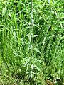 Verbena officinalis Habitus 2011-6-25 SierraMadrona.jpg