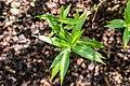 Veronica salicifolia in Christchurch Botanic Gardens 01.jpg