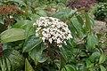 Viburnum japonicum kz2.jpg