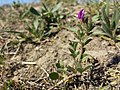 Vicia angustifolia subsp. segetalis sl30.jpg