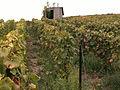 Vignes (Alentours de Festigny.51) Cl.J.Weber02 (23049523244).jpg