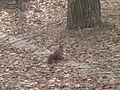 Villa Borghese gennaio - lo scoiattolo P1090014.JPG