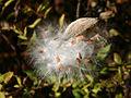 Vincetoxicum rossicum 5452351.jpg