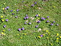 Viola calcarata.jpg